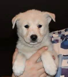 Canaan Dog Info, Temperament, Care, Training, Puppies