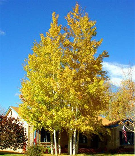 Quaking aspens for the driveway? Or a better idea