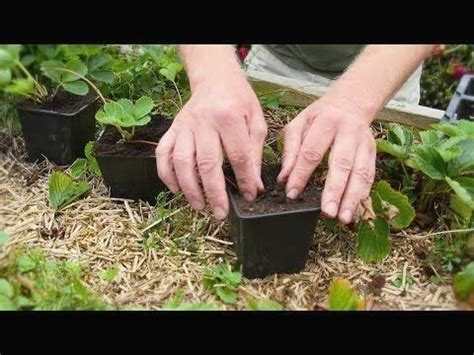 How To Make New Strawberry Plants Out Of Runners And Plant