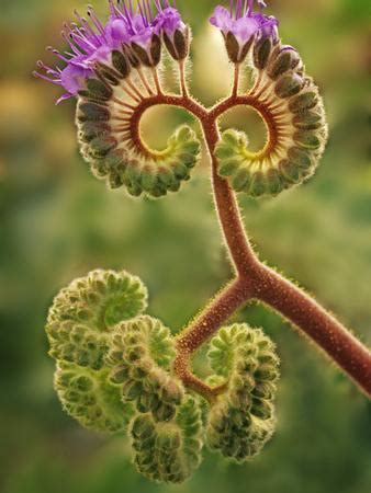 Detail of Phacelia Plant in Bloom, Death Valley National