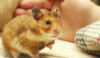 Campbell's Dwarf Hamster - Facts, Information & Pictures