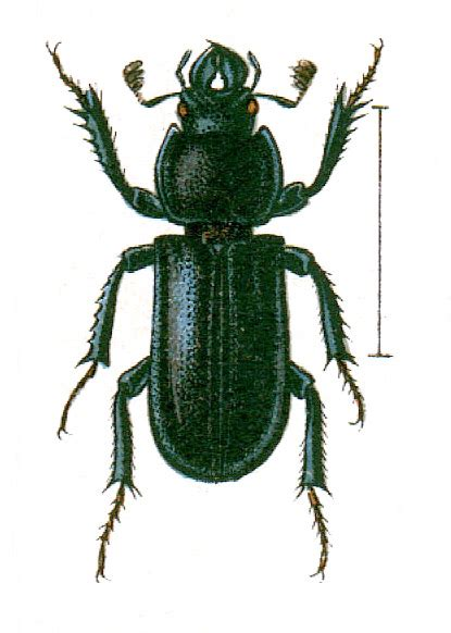 Platycerus caraboides - Wikispecies